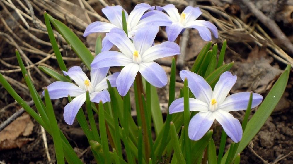Хионодокса: описание,содержание,уход,размножение,выращивание в открытом грунте.