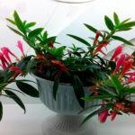 Колумнея: уход и выращивание в домашних условиях.