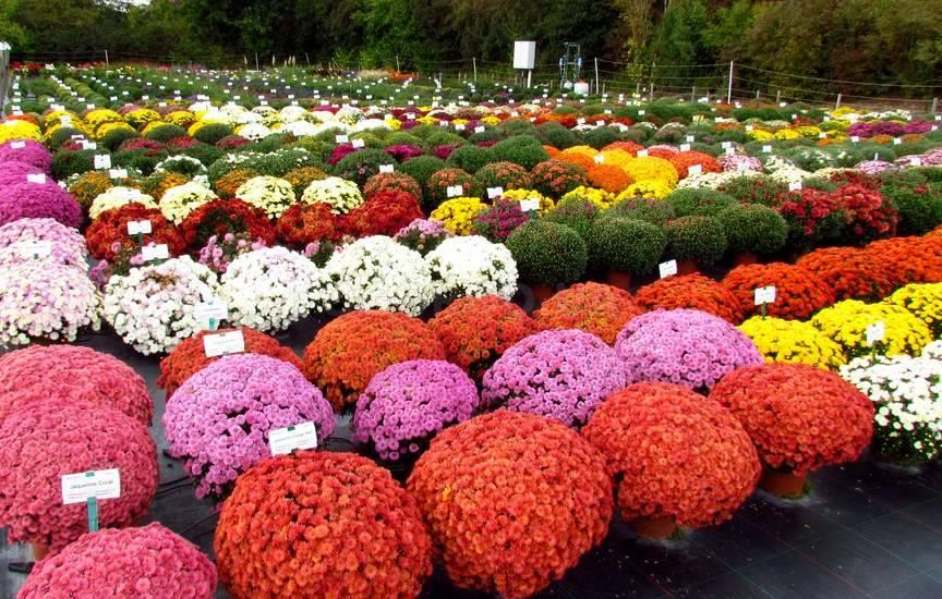 Хризантема мультифлора: описание,выращивание,виды,сорта,размножение,уход,фото,видео.