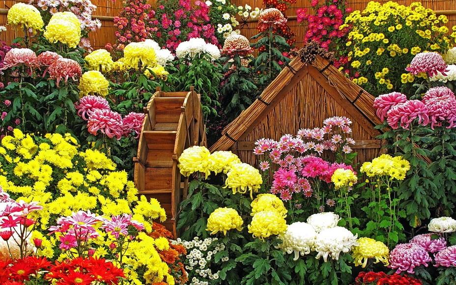 Корейская хризантема: описание,выращивание,уход,виды,сорта,размножение,фото,видео.