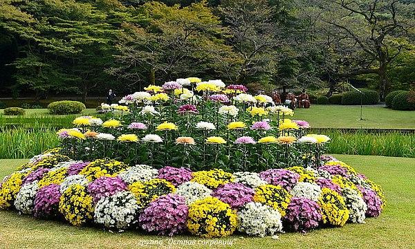 Хризантема мультифлора посадка осенью