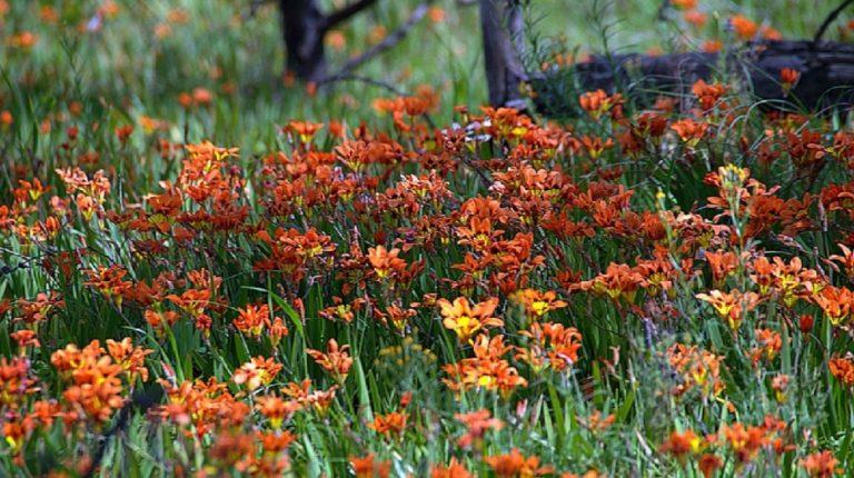 Спараксис: уход в открытом грунте,размножение.выращивание,фото,видео.