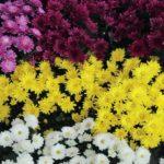 Хризантема увенчанная: описание,выращивание в открытом грунте.виды.