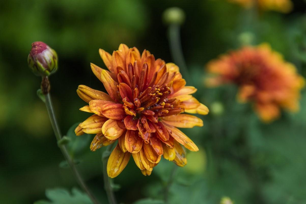 Хризантема садовая: описание,размножение,выращивание,уход,фото,видео.