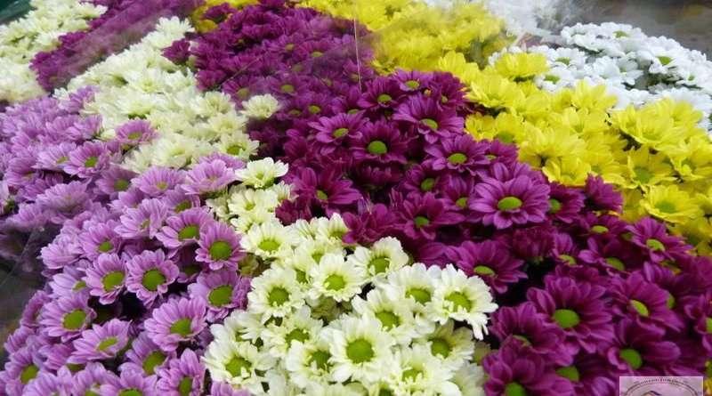 Хризантема кустовая: уход,выращивание,размножение,фото,видео,вредители.
