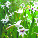 Ацидантера: уход и выращивание в открытом грунте.