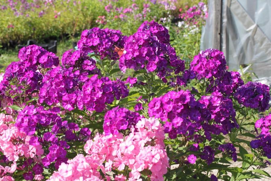 Флокс метельчатый: уход и выращивание в открытом грунте.