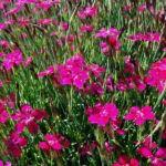 Гвоздика альпийская: уход и выращивание в открытом грунте.