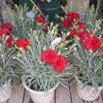 Гвоздика шабо: выращивание и уход в открытом грунте.