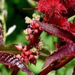 Клещевина: уход и выращивание в открытом грунте.