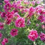 Гвоздика китайская: выращивание и уход в открытом грунте.