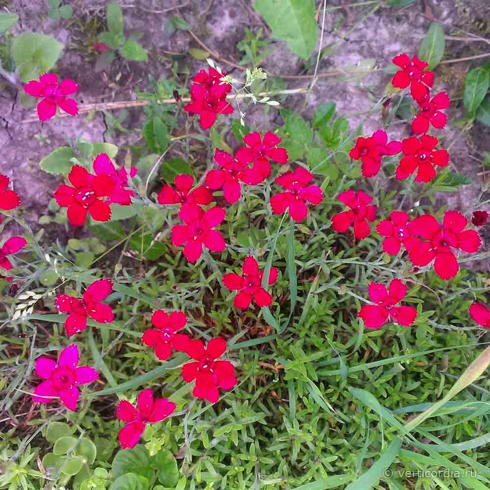 Гвоздика травянка: уход и выращивание в открытом грунте.