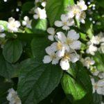 Чубушник: выращивание и уход в открытом грунте.