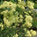 Василистник: выращивание и уход в открытом грунте.