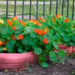 Настурция: выращивание и уход в открытом грунте.