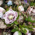 Морозник: уход и выращивание в открытом грунте.