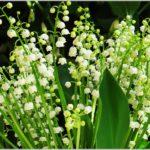 Ландыш майский: уход и выращивание в открытом грунте
