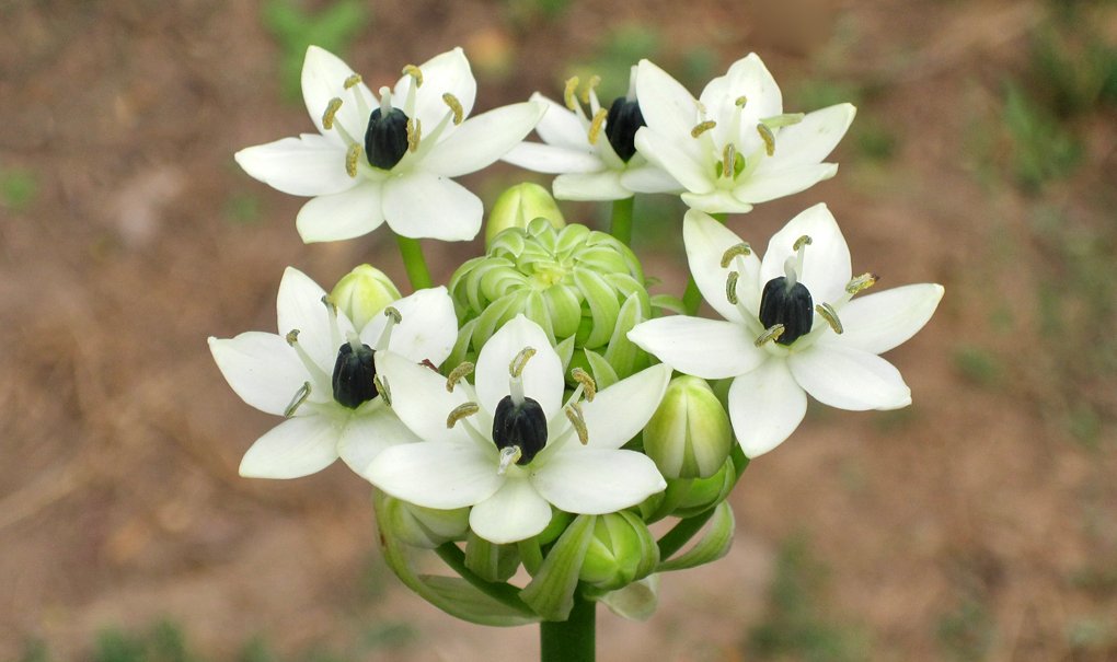 Орнитогалум: уход и выращивание в открытом грунте.