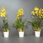 Онцидиум: уход и выращивание в домашних условиях.