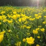 Лютик: уход и выращивание в открытом грунте.
