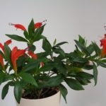 Эсхинантус: уход и выращивание в домашних условиях.