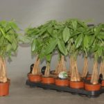 Пахира: выращивание и уход в домашних условиях.