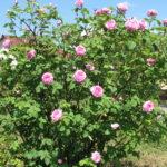 Роза парковая:выращивание и уход в открытом грунте.
