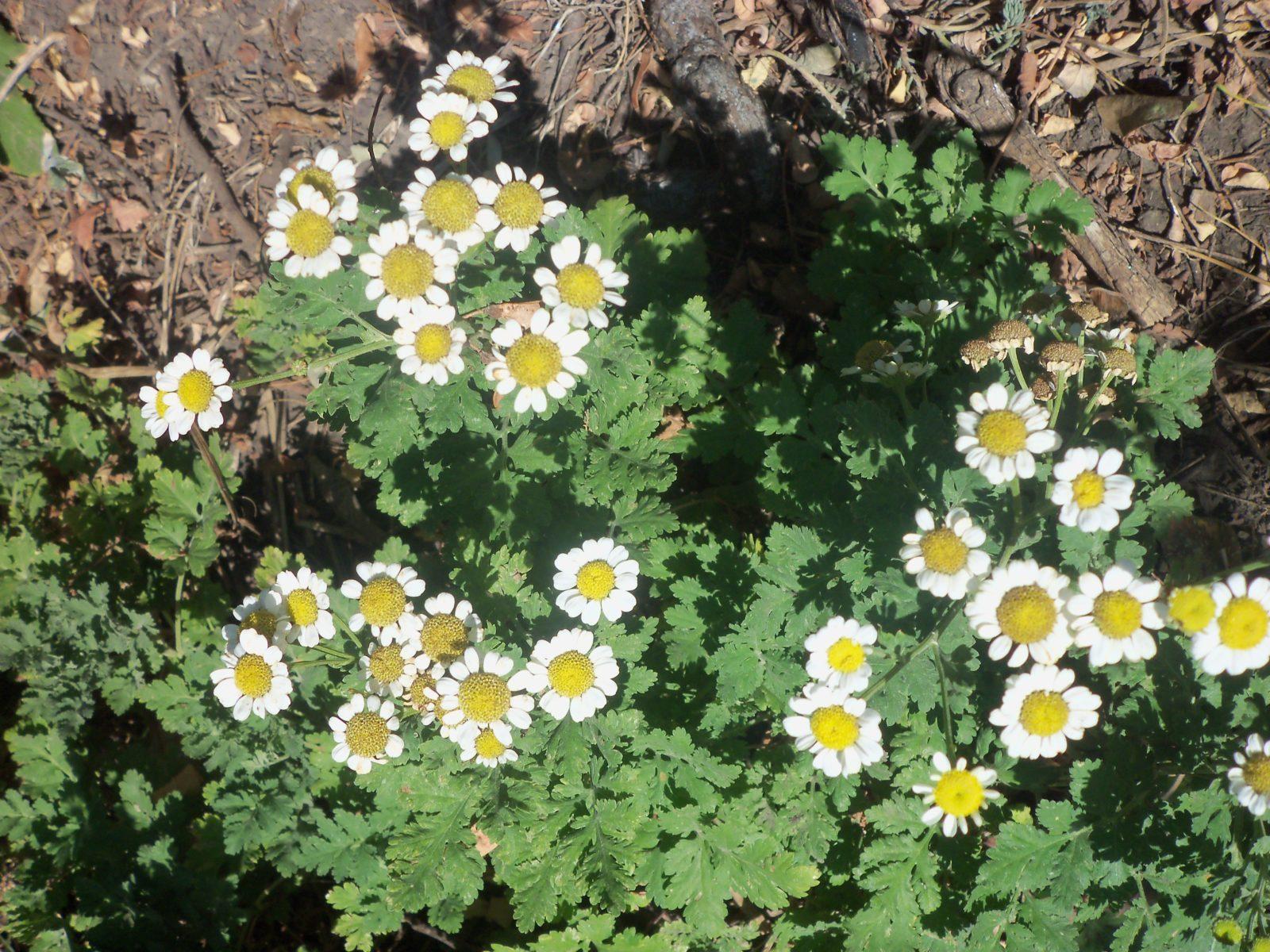 Пиретрум: выращивание и уход в открытом грунте.