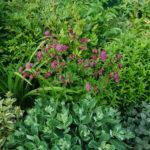 Астранция: выращивание и уход в открытом грунте.