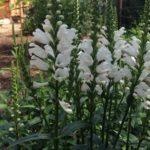 Физостегия: выращивание и уход в открытом грунте.