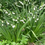 Белоцветник: уход и выращивание в открытом грунте.