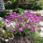 Лихнис: выращивание и уход в открытом грунте.
