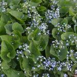 Бруннера: выращивание и уход в открытом грунте.