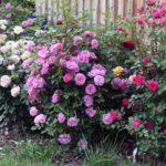 Роза кустовая: выращивание и уход в открытом грунте.