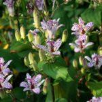 Трициртис: выращивание и уход в открытом грунте.
