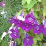Азарина: выращивание и уход в открытом грунте.