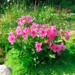 Инкарвиллея: выращивание и уход в открытом грунте.