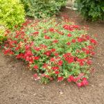 Почвопокровная роза: выращивание и уход в открытом грунте.