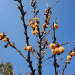 Список деревьев и кустарников с колючками и шипами