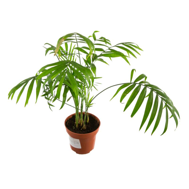 Хамедорея элеганс: выращивание и уход в домашних условиях.