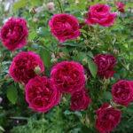 Английские розы: выращивание и уход в открытом грунте.