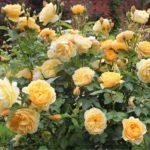 Роза шраб: выращивание и уход в открытом грунте.