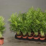 Хамедорея: уход и выращивание в домашних условиях.