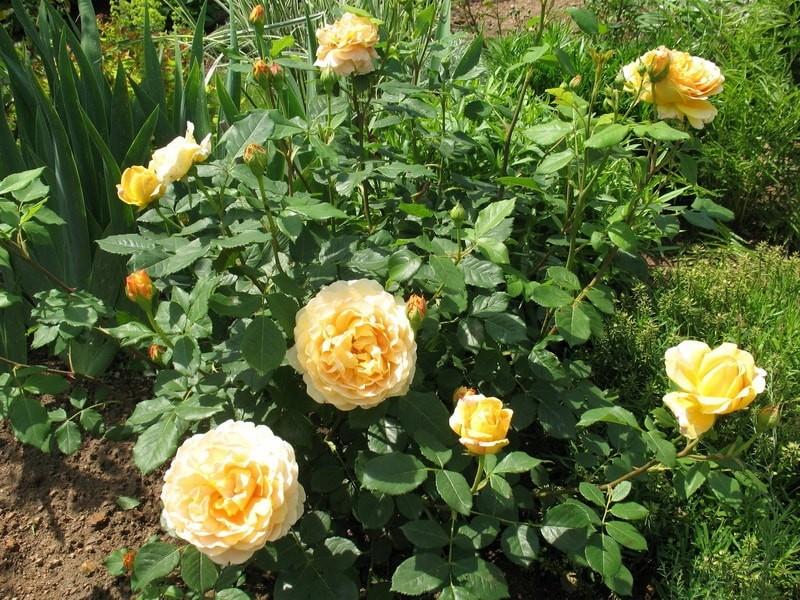 Как из плетистой розы вырастить шраб