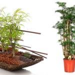 Полисциас: выращивание и уход в домашних условиях.
