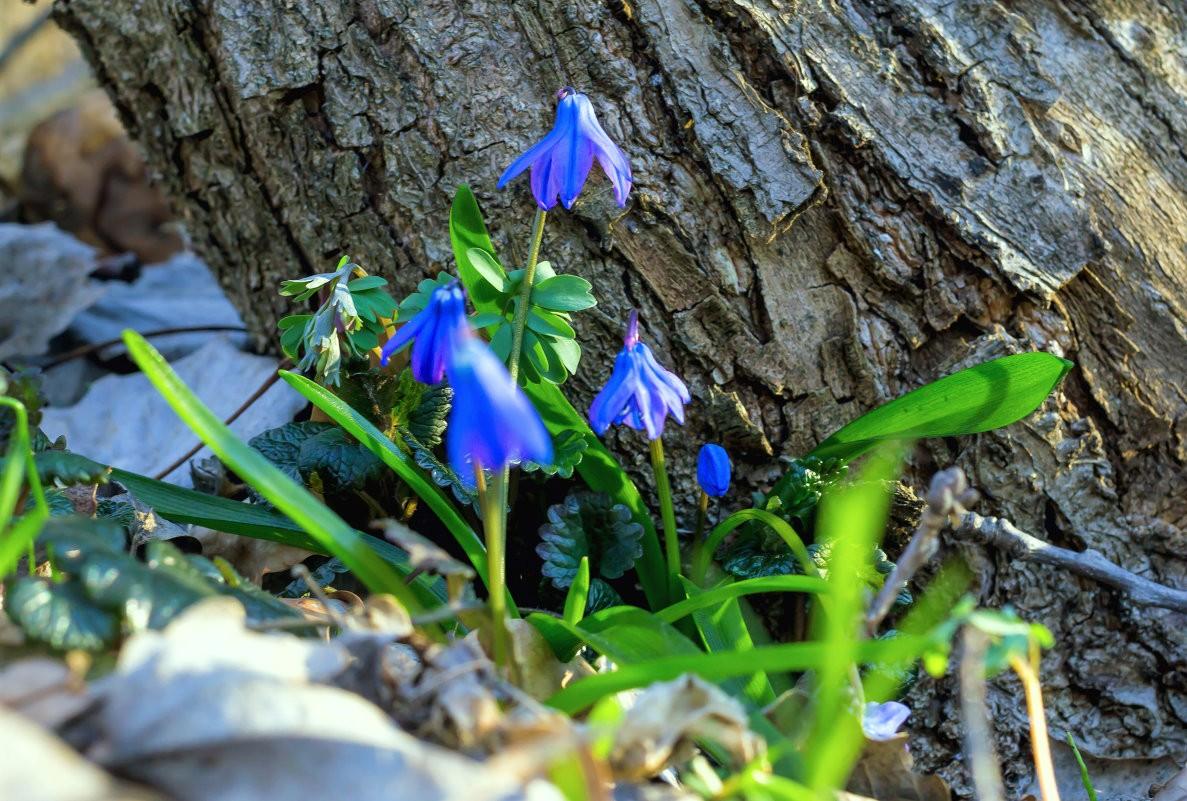 Подснежник: выращивание и уход в открытом грунте,фото видео.