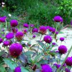Гомфрена: выращивание и уход в открытом грунте.