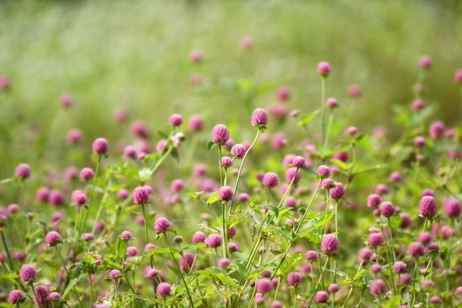 Гомфрена шаровидная посадка и уход фото Гомфрена выращивание из семян когда сажать