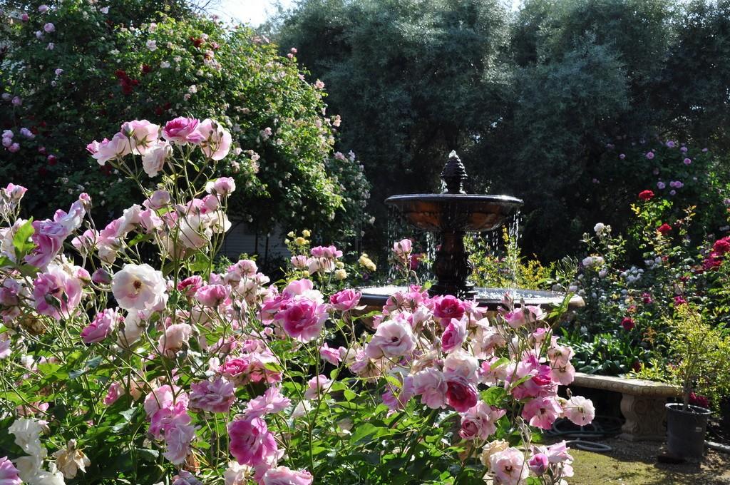 Садовая роза: выращивание и уход в открытом грунте,фото,видео.