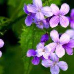 Лунник цветок: выращивание и уход в открытом грунте,фото,видео